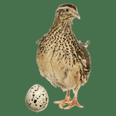 live-quails-game-birds
