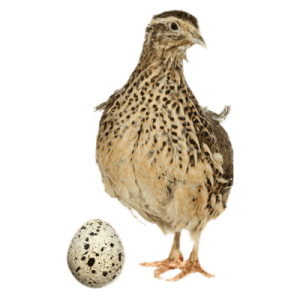 live-quails-game-birds