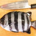 相模湾で釣った石鯛をモロッコ風に料理してみた