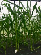 These are the sweetcorn we planted on day one, all grown up
