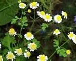 """Feverfew A Natural Herbal Remedy"""