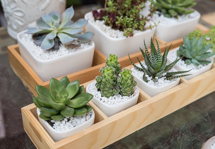 Miniature succulent plants