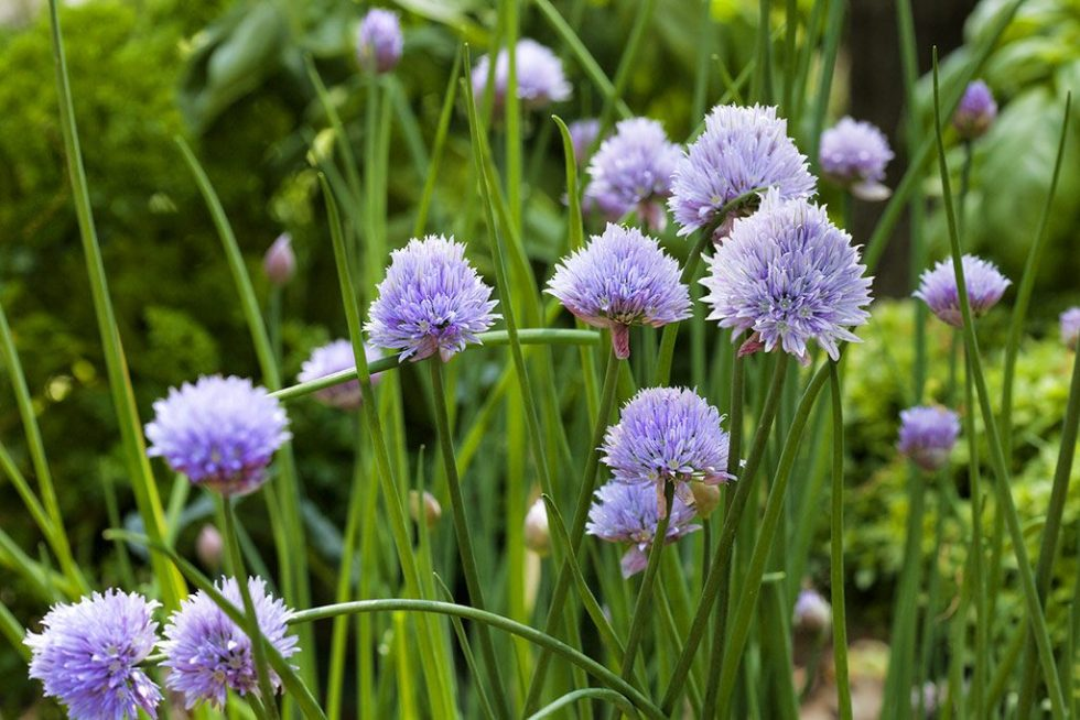 chive-blooms-web (1)