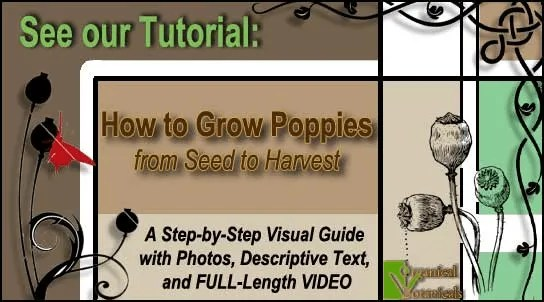 [TUTORIAL] How to Grow Somniferum Opium Poppies
