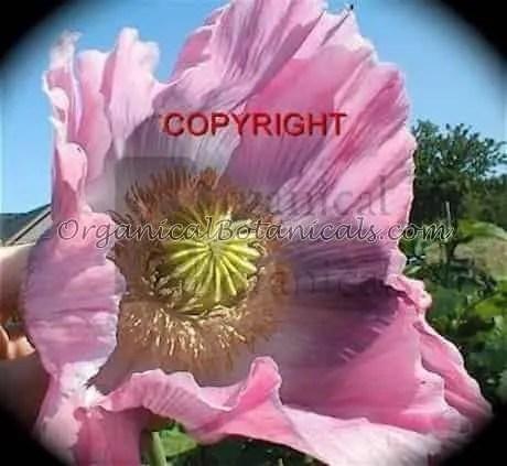 Super Colossus Poppy