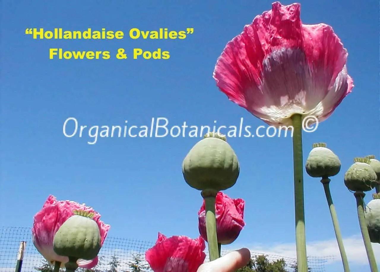 Hollandaise Ovalies Papaver Somniferum Poppy Flowers and Pods