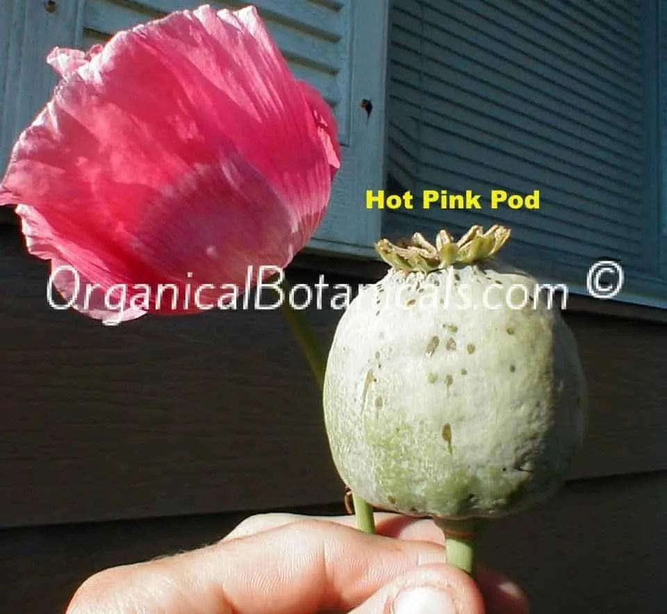 Hot Pink Papaver Somniferum Poppy Flower and Seed Pod