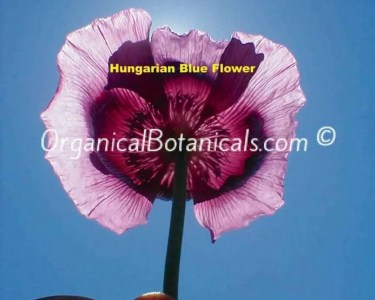 Hungarian Blue Papaver Somniferum Poppy Flower seed