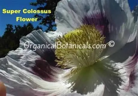 Super Colossus Giant Somniferum Poppy Flower