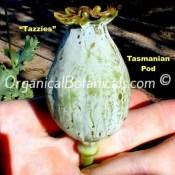 Tazmanian Papaver Somniferum Poppy Seed Pod
