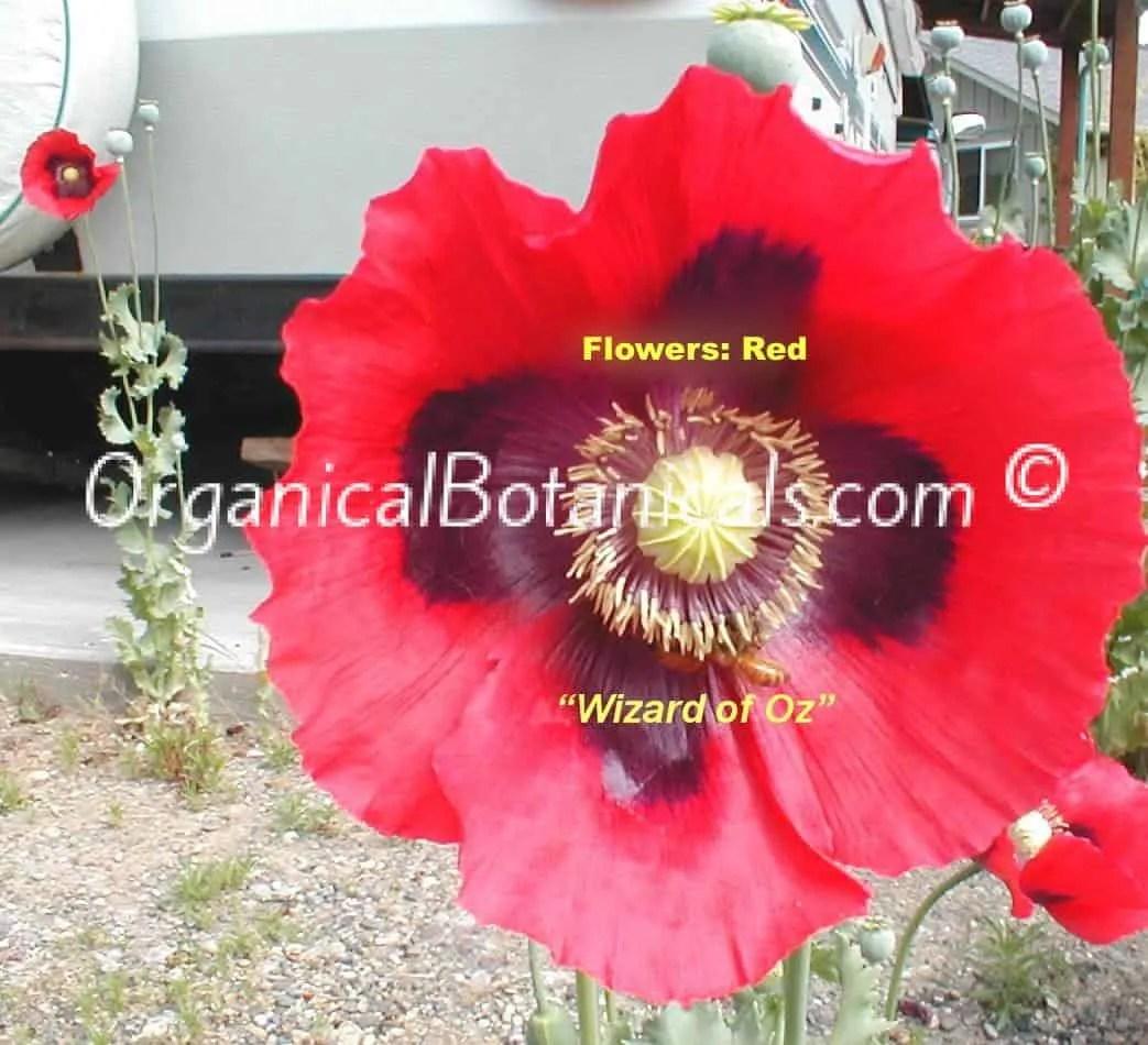 'Wizard of Oz' Red Somnferum Poppy Flowers