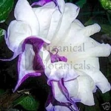 DATURA PURPLE QUEEN, DOUBLE