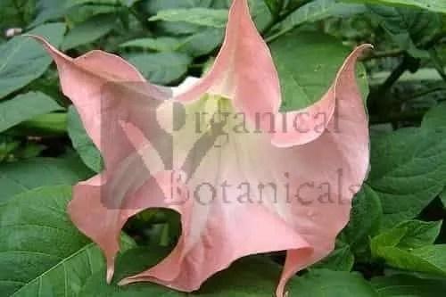 500 Pink BRUGMANSIA SUAVEOLENS Tree Datura Seeds - BULK