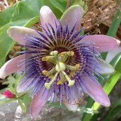 CAERULA blue passionflower seeds