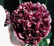 Black Cloud Peony Somniferum Poppy