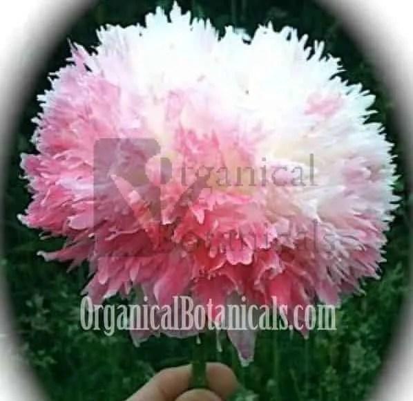 pink circus peony papaver somniferum poppy flower