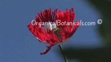 Danish Flag Papaver Somniferum Afghan Opium Poppy