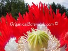 Danish Flag Papaver Somniferum Opium Poppy Flower