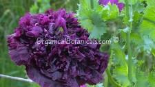 Izmir India Black Papaver Somniferum Peony Poppy Flower Seeds