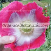 Planets Largest PAPAVER SOMNIFERUM POPPY SEEDS