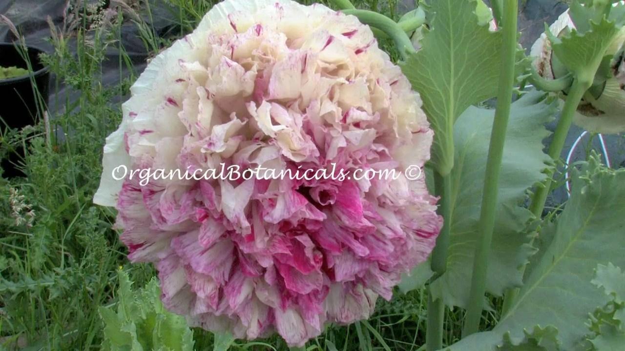Pink Blemish Peony Papaver Somniferum Poppies