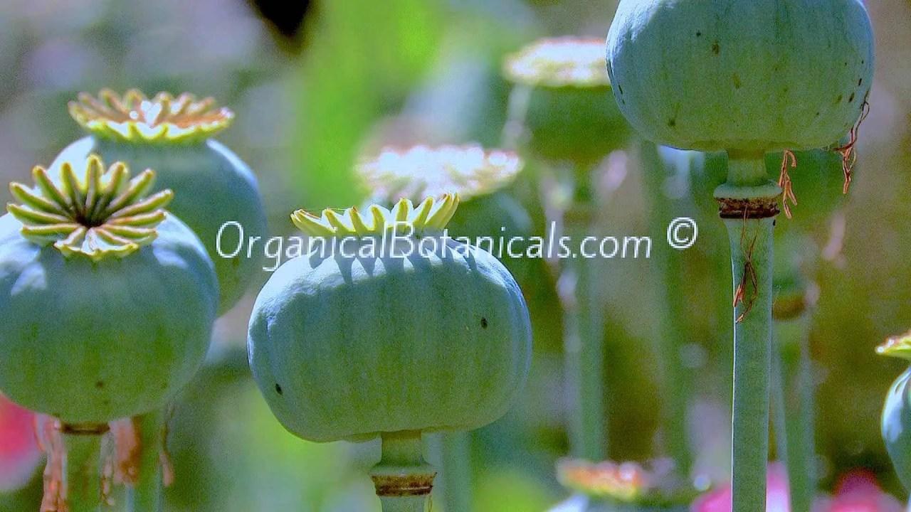 Pink Blemish Peony Papaver Somniferum Poppy Pods