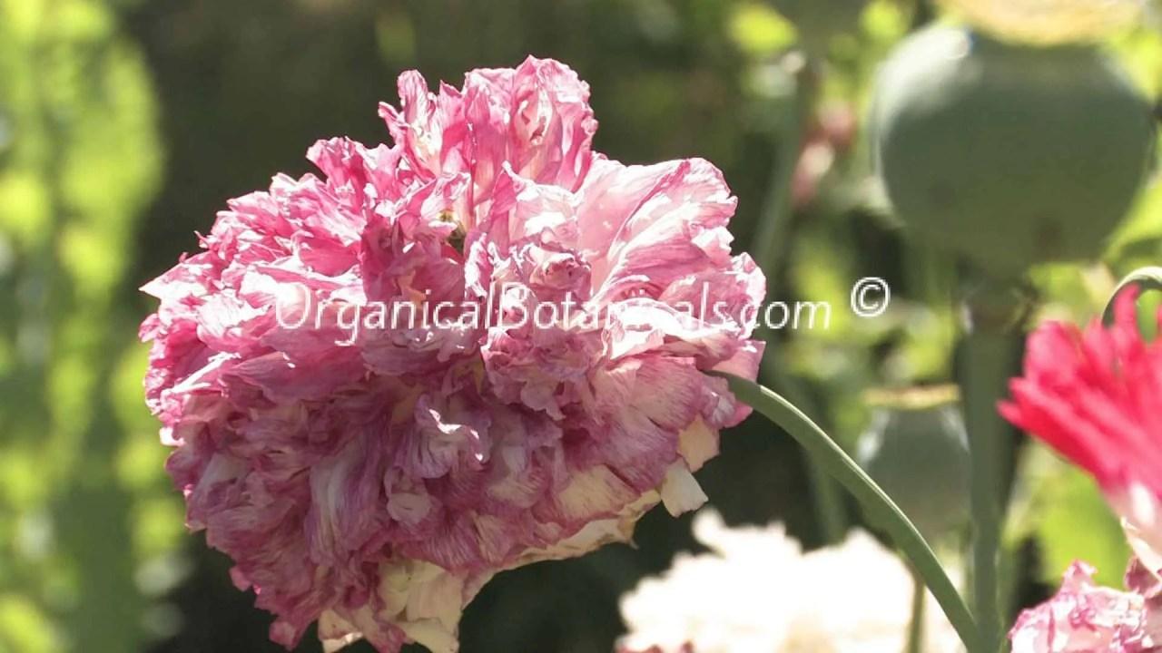 Pink Blemish Peony Papaver Somniferum Poppy Seed