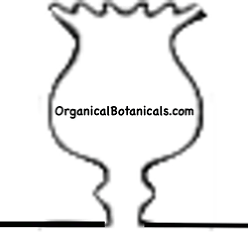 papaver somniferum poppy head white outline