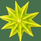 Planting Papaver Somniferum Poppies Late Season or Hot weather