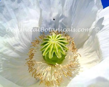 White Papaver somniferum Unwashed Opium Poppy Seeds Japanese Ikkanshu Variety BULK Wholesale