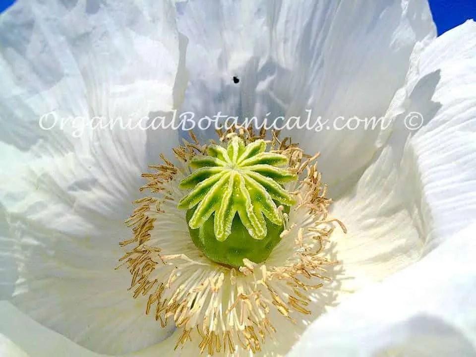 Products organical botanicals products organical botanicals mightylinksfo