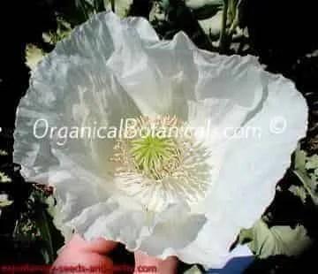 White Papaver Somniferim Flower