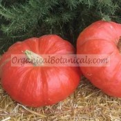 Cinderella Pumpkin rouge vif detampes untreated Seeds