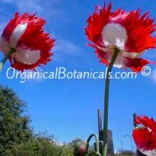 Danish Flag double Papaver Somniferum Poppy Flowers