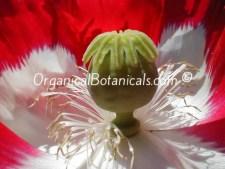 Danish Flag RED n White Papaver Somniferum Afghan Opium Poppy Flower