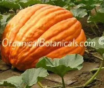 Dills Atlantic GIANT Pumpkin - Untreated or Treated Seeds