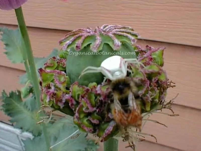 Hens n Chicks Poppy Pod with Crab Spider Killing a Bee