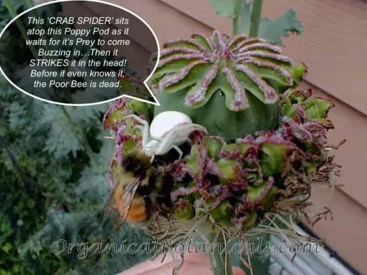 Crab Spider Kills a Bee atop a Poppy Pod — Organical Botanicals