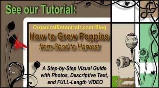 How to Grow Papaver Somniferum Opium Poppy Seeds