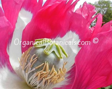 Izmir Afghan Papaver Somniferum Poppy Flower