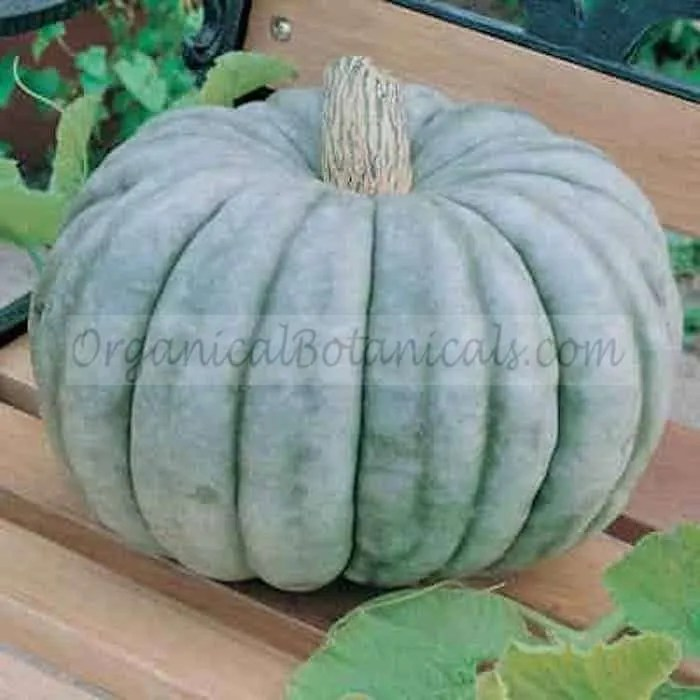 Jarrahdale Squash Seed Blue Moon Pumpkin Hybrid Seeds
