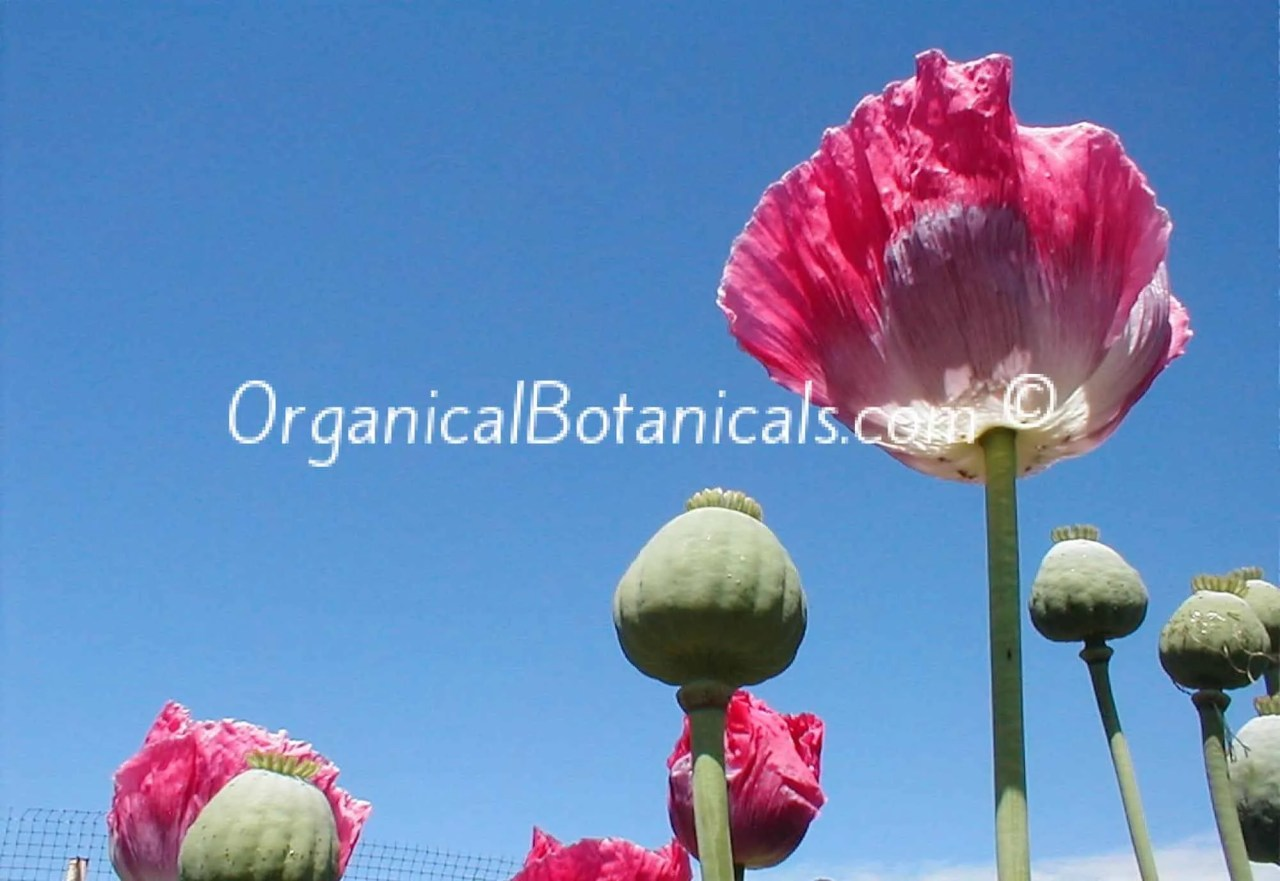 JUMBO TURKISH OVAL – PAPAVER SOMNIFERUM POPPY SEEDS