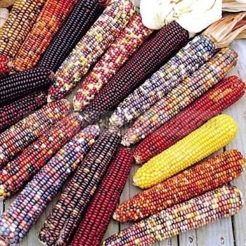 Ornamental Corn Wilda's Pride Mix Untreated