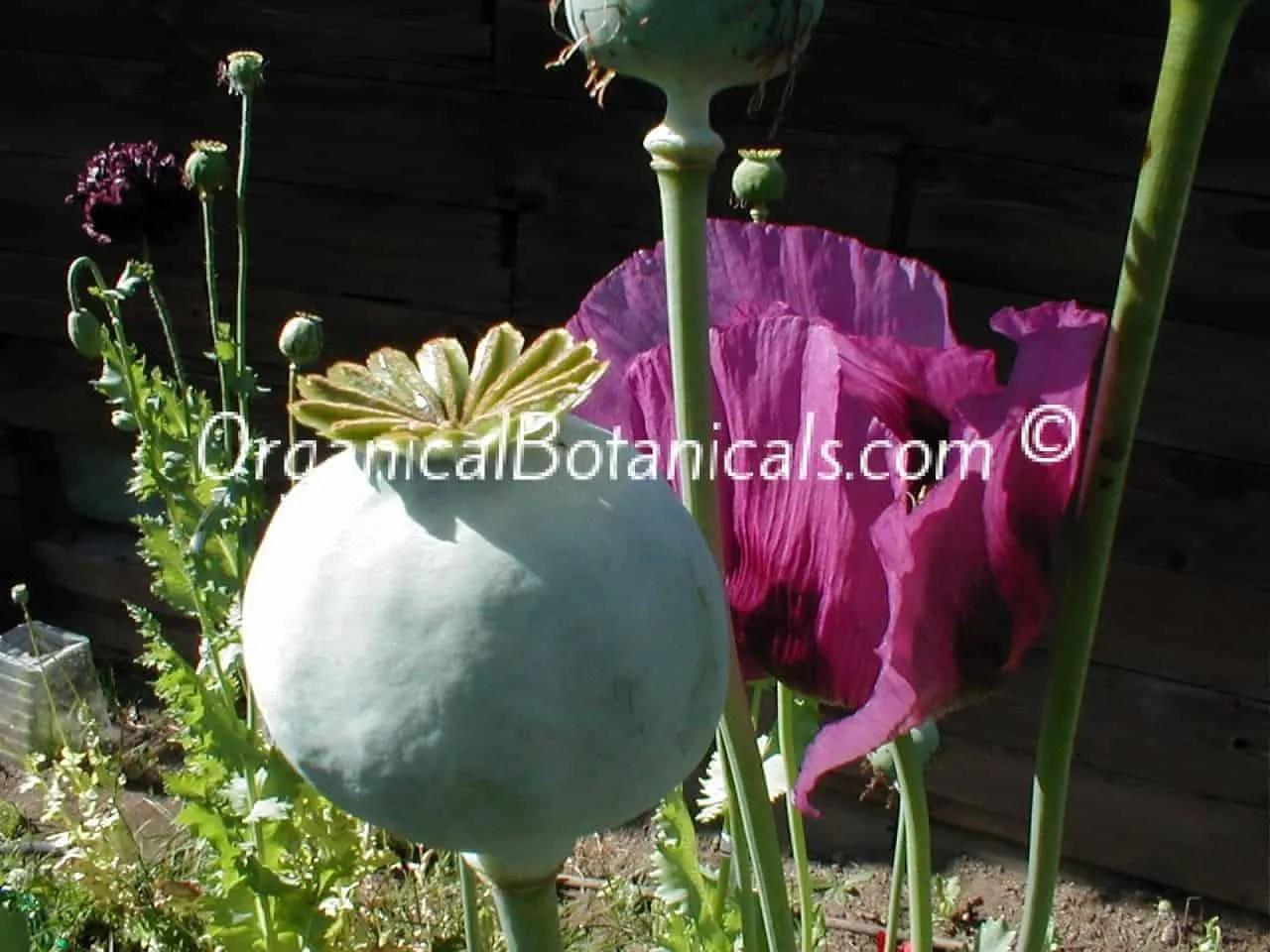Hungarian Blue Poppy Pod and Flower – Somniferum