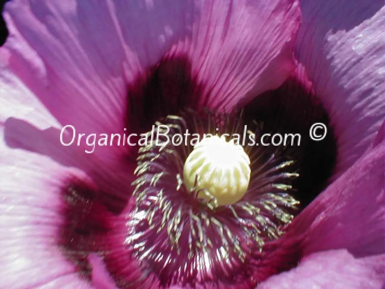 Hungarian Blue Buddha Papaver Somniferum Poppy Seeds Organical