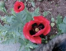 Papapver Setigerum Poppies red