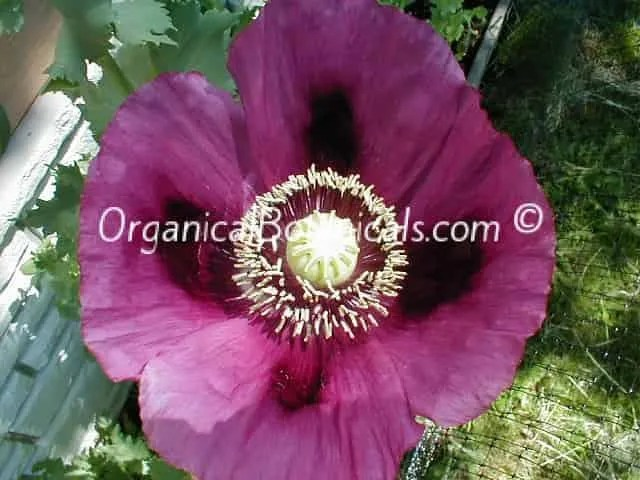 Persian Blue Somniferum Poppy Flower