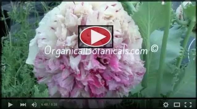 Pink Flemish Antique Peony Papaver Somniferum Poppy Video