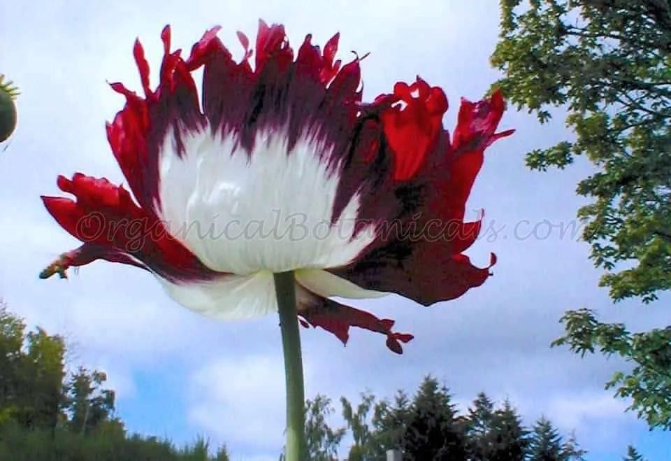 USA Flag RED White Blue papaver somniferum poppy flower   Seed by OrganicalBotanicals