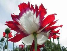 USA Flag RED White Blue papaver somniferum poppy flower